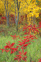 Red summac and autumn forest at Icelandic State Park, near Cavalier, North Dakota, AGPix_0220.