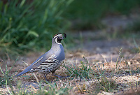 A male California quail photographed in Pinnacles National Park.