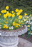 Narcissus daffodils spring flowering bulbs in pot container cement planter garden in spring flowering bulbs bloom, with English daisies Bellis perennis, and massed daffs planted in the ground