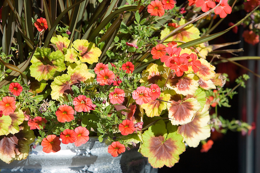 A colorful, tight detail of the edge of a shiny new galvanized trash can used as a creative container to hold a beuatiful array of annuals and perennials featuring the zonal geranium (Pelargonium) 'Indian Dunes'.