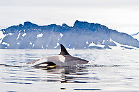 killer whale or orca, Orcinus orca, Type B orca, mother and calf, Antarctic Peninsula, Antarctica, Southern Ocean