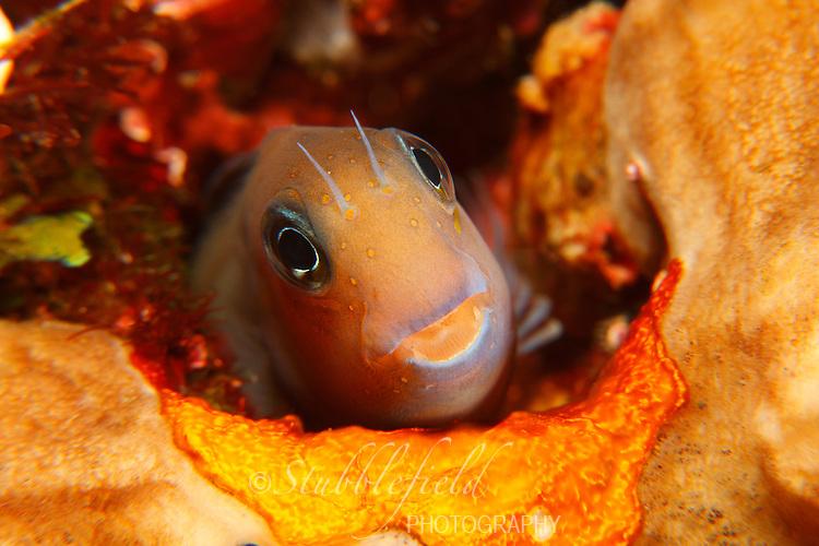 Bicolor Blenny (Ecsenius bicolor) peeking from hole in reef