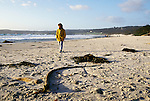 CA: Beach at Carmel, woman walking on beach with bullwhip kelp, model released  .Photo: cabea2105..Photo copyright: Lee Foster, 510-549-2202, lee@fostertravel.com, www.fostertravel.com