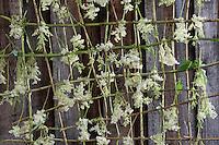 Mädesüß trocknen, ernten, Ernte, Trocknung auf einem Trockengestell aus Weidenzweigen an einer sonnigen Schuppenwand. Echtes Mädesüß, Mädesüss, Filipendula ulmaria, Meadow Sweet, Quenn of the Meadow, Reine des prés