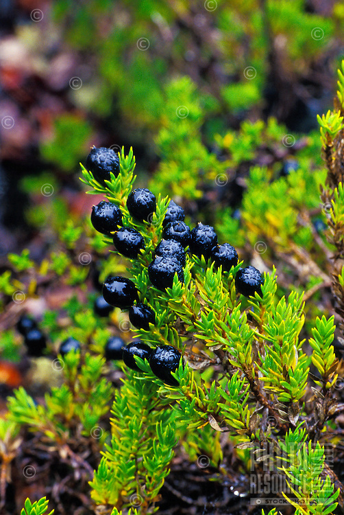 The native plant kukai nene with berries.