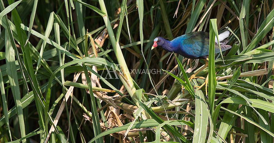 The Purple gallinule is one of the most colorful birds found in American wetland areas.
