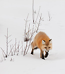 An individual red fox is seen walking toward the viewer in the snow in the winter months of Yellowstone National Park.