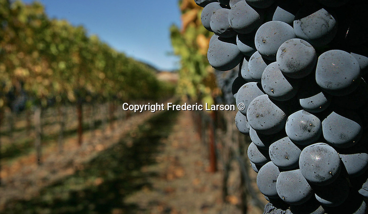 Batches of autumn grapes hanging off the vine in Napa Valley, California.