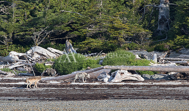 We were fortunate to see three coastal wolves during our week in British Columbia, including this rare white wolf and its traveling companion.