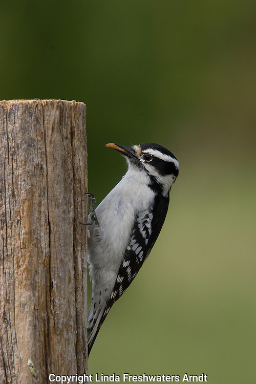 Downy Woodpecker (Picoides pubescens) with a mealworm in his mouth.  Summer. Winter, WI.