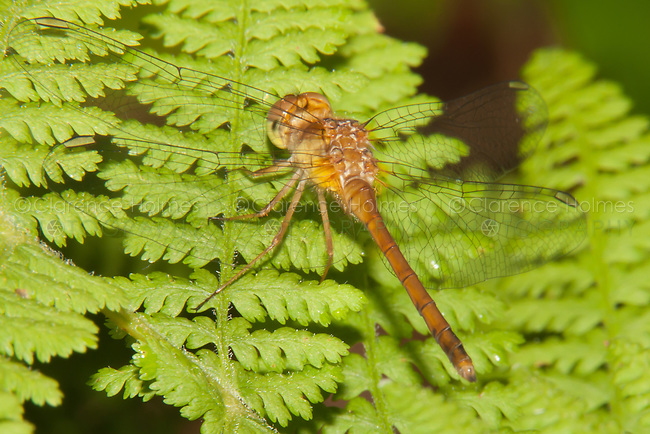 Autumn Meadowhawk (Sympetrum vicinum) Dragonfly - Male, Promised Land State Park, Greentown, Pike County, Pennsylvania
