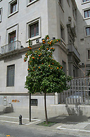 Orange tree growing in urban environment.Granada, Andalucia, Spain.