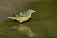 592210034 a wild orange-crowned warbler vermivora celata stands in a pond on dos venadas ranch starr county texas united states
