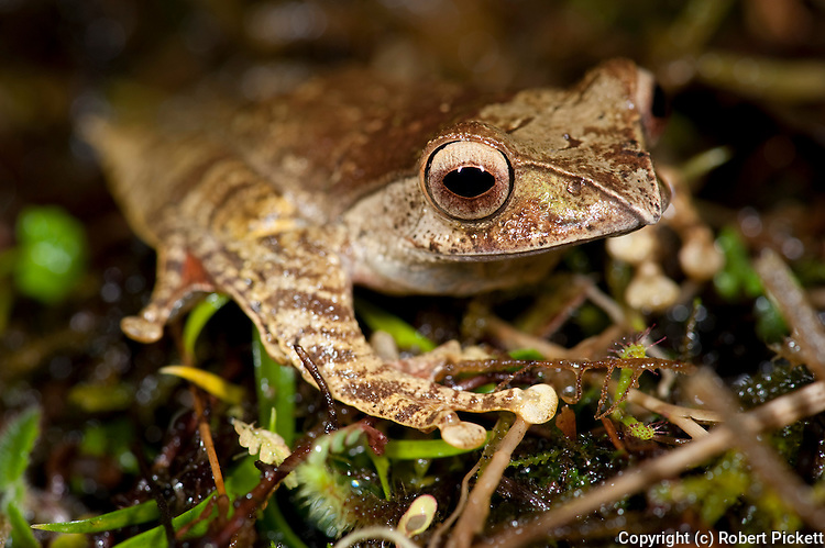 Madagascar Bright Eyed Frog, Boophis madagascariensis, on rainforest floor, Ranomafana National Park, Madagascar, Least Concern on the IUCN Red List