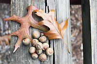 Oak leaves and acorns in fall resting on an old wooden bench - Free Stock Photo.