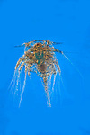 Barnacle Larvae, Nauplius sp. Microscopic, two, pair, blue background, cut out, Rheinberg Illumination, microscope