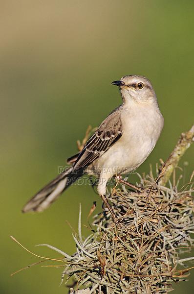 Northern Mockingbird, Mimus polyglottos,adult, Lake Corpus Christi, Texas, USA, May 2003