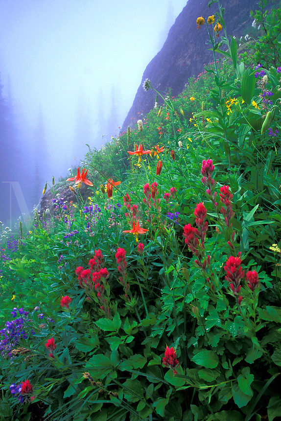 Subalpine wildflowers, Indian Henrys Hunting Ground, Mount Rainier National Park, Cascade Mountains, Washington