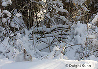MA19-508z  Snowshoe Hare camouflaged in snow, Lepus americanus
