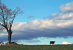 Sky Tree Field Cow, workshop