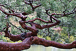 Gnarly pine tree, Kyoto, Japan