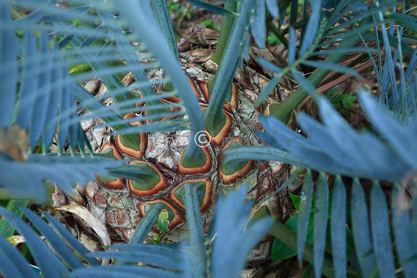 France, Alpes-Maritimes (06), Saint-Jean-Cap-Ferrat, le jardin botanique des C&egrave;dres:<br /> Encephalartos lehmanii, feuilles et bases des p&eacute;tioles