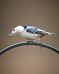 White-Breasted Nuthatch. Image taken with a Nikon D5 camera and 600 mm f/4 VR lens (ISO 1250, 600 mm, f/4, 1/1250 sec).