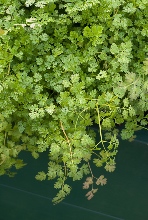 Coriander (Coriandrum sativum) Cilantro herb plant growing, foliage leaves