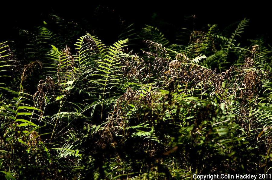 TOM BROWN PARK: Ferns take their morning sun bath..COLIN HACKLEY PHOTO