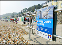 BNPS.co.uk (01202 558833)<br /> Pic: Graham Hunt/BNPS<br /> <br /> The Seagulls have landed...Warning signs have previously been put up.<br /> <br /> Lyme Regis council have come up with a cunning plan to rid the Dorset seaside town of its seagull menace this Easter - they've recruited two huge bald eagles to patrol the genteel resort.<br /> <br /> Tourism bosses fear over aggressive seagulls are scaring away visitors and have hired the two fearsome birds of prey to patrol the beaches and promenades this Easter.<br /> <br /> Like many coastal resorts, Lyme Regis in Dorset has a longstanding problem with angry gulls attacking tourists and pinching their chips and ice creams.<br /> <br /> Initial reports after the first deployment of eagles Winnie and Kojak yesterday suggest that the Seagull's are now keeping their distance.
