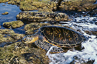 Green Sea Turtle (Chelonia mydas) coming ashore to sun and rest on rocks during low tide.  Hawaii.