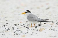 Adult Least Tern (Sternula antillarum) in breeding plumage. Gulf Islands National Seashore, Florida. June.