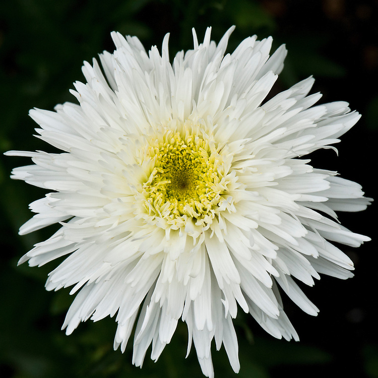 Leucanthemum x superbum 'Wirral Supreme', early JUly. Cultivated form of Shasta daisy.