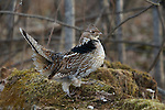Ruffed grouse walking on his drumming log