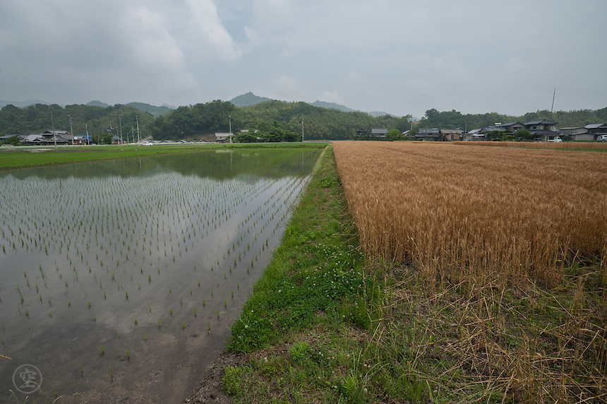 Wheat and rice grow side by side in June in Kagawa's interior.