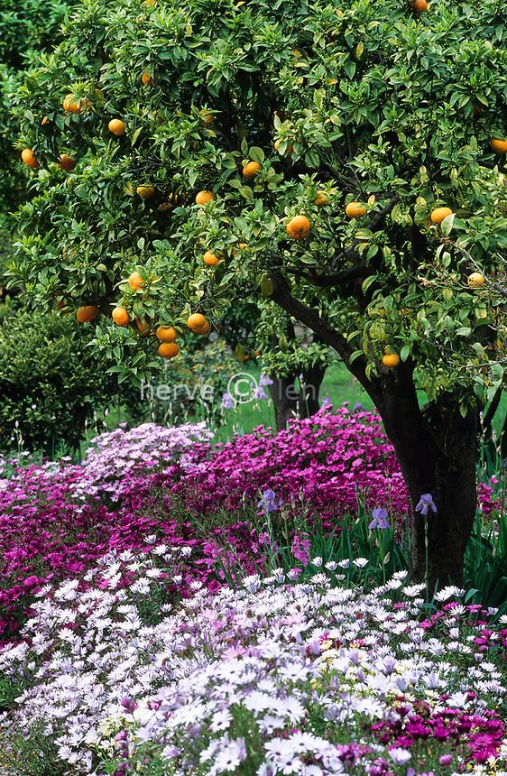 06/ Jardin botanique &quot;Les Cèdres&quot;<br /> Oranger (Citrus) et Osteospermum.
