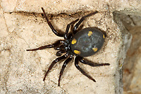 Zeltdachspinne, Zeltdach-Spinne, Uroctea durandi, Oecobiidae, Scheibennetzspinnen