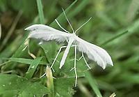 White Plume Moth - Pterophorus pentadactyla