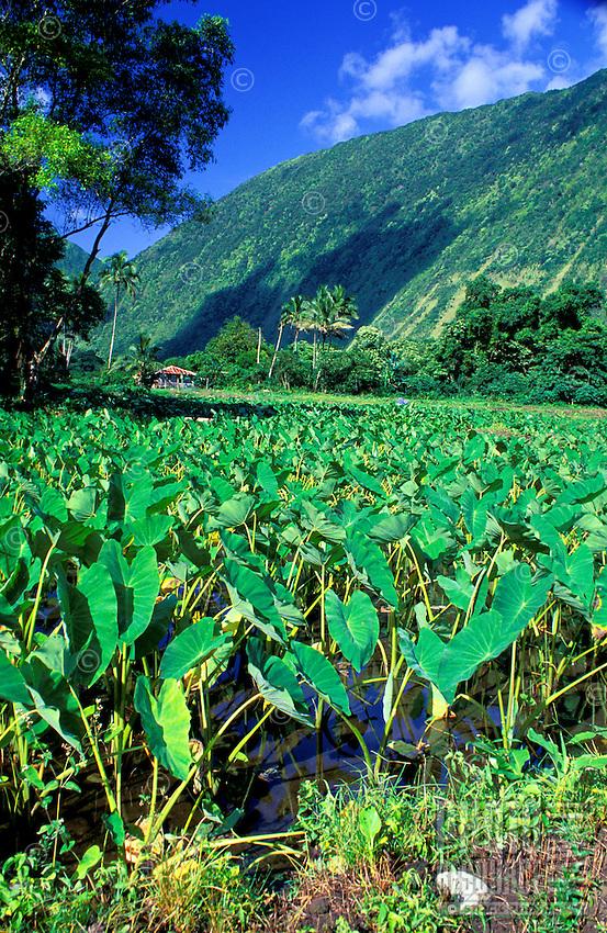 Taro farm in Waipio Valley on the Big Island