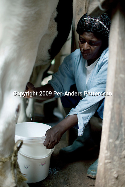 AKUM, CAMEROON - AUGUST 6: Mary Sirri Ndikum, age 54, a dairy farmer, milks a cow on her farm on August 6, 2009 in Akum, Cameroon. Many small farmers in the area are struggling to cope with low milk prices, expensive inputs and competing with low priced milk powder, that is heavily subsidized by European governments and dumped on international markets such as in Africa. Mary owns several dairy cows, delivers fresh milk everyday to a dairy nearby and makes her own yogurt. (Photo by Per-Anders Pettersson).....
