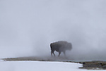 Buffalo walks in steam