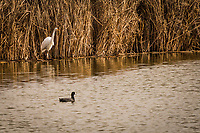 A Great egret and an American coot share a moment in the water of the wetland habitat at Coyote Hills Regional Park near San Francisco Bay.