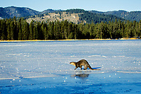 River otter trotting/loping (they have an odd gait on land) across frozen pond, Western U.S., winter.  This was one of five otters (probably a family group--mother & four mostly grown young) that I stumbled across using the open water at the outlet stream on a small lake in Idaho.  After about a 1/2 hour of fairly fruitless fishing (I think I saw one fish caught) four of the otters trotted out across the ice and disappeared in the forest beyond.  This particular river otter was under the ice hunting at the time and by the time it surfaced the other otters were gone.  It took it about fifteen minutes to figure out what had happened and where the others had gone.