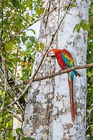 scarlett macaw, Ara macao, adult, Amazon National Park, Loreto, Peru