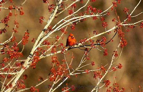 Male northern cardinal perched on branch of red maple trees with spring blooms