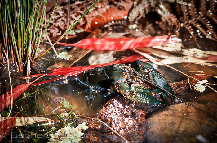 Yabbie (Cherax destructor) among fallen eucalypt leaves in small pond, Gundagai area, New South Wales