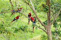scarlet macaw, Ara macao, flock, Alajuela Province, Costa Rica, Central America