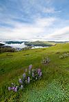 Lupine and Oak, Redwood National Park