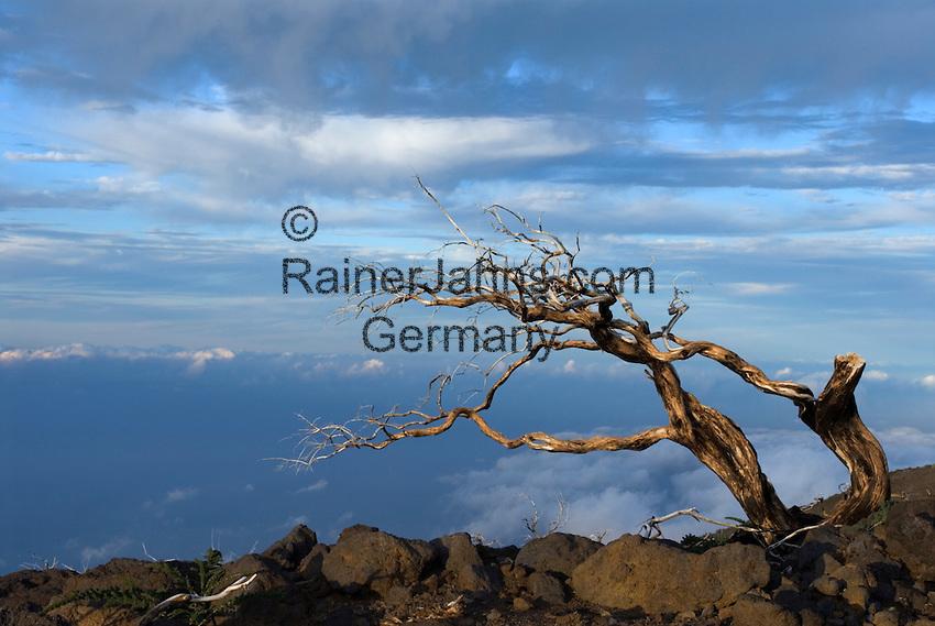 Spain, Canary Islands, La Palma, dead tree at Roque de los Muchachos