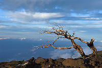 Spain, Canary Islands, La Palma, dead tree at Roque de los Muchachos